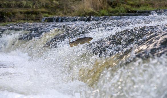 Hoppende ørret i elv