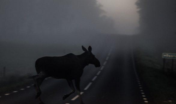 Elg over veien